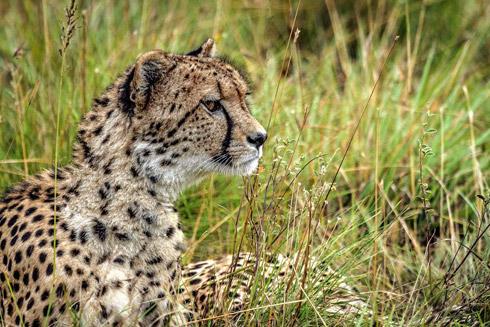 Gepard bei der  Privatsafari Amakhala