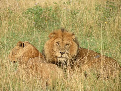 Loewenpaar im Amakhala Game Reserve