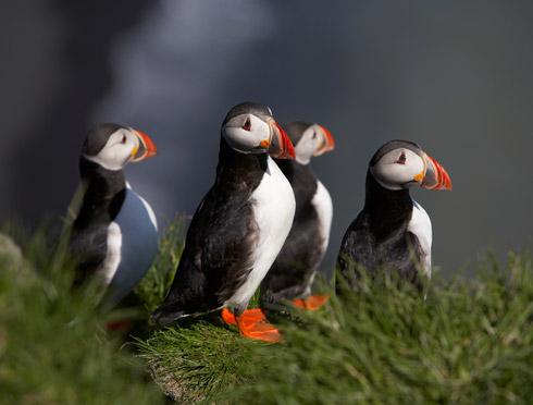 Papagaientaucher Südküste Island