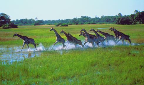 Botswana Giraffen im Gras