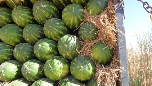 Süße Melonen der Obstplantagen