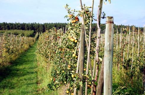Apfelernte(c)Tourismusverband Havelland e.V