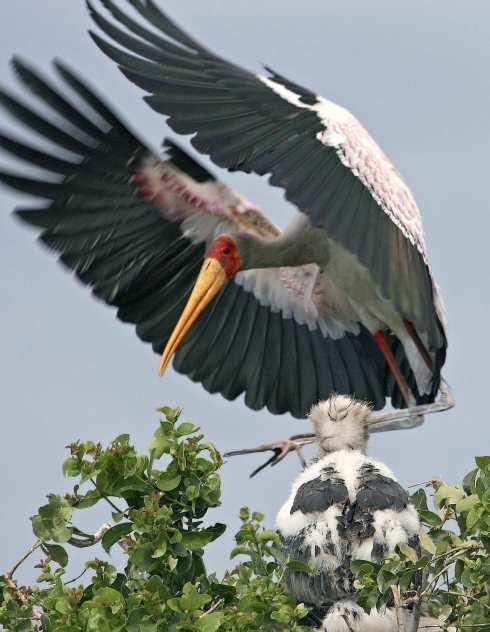 Botswana Storch