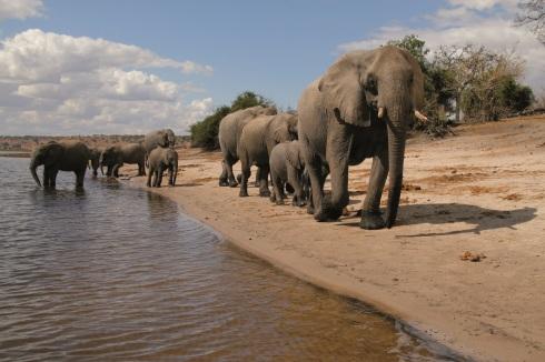 Botswana 4 Chobe National P. Chamaeleon