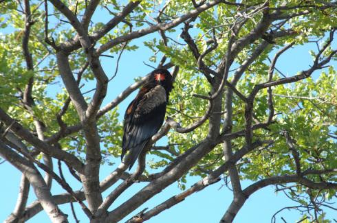 Botswana 6 Vogel Cahmaeleon