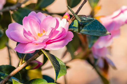 closeup of pink camellia flower in bloom