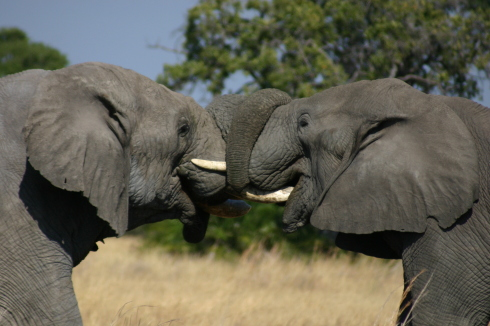 IMG-Elephant-Fighting-by-Alex-Mazunga-at-Mombo-Camp-In-The-Detla-in-Moremi-Game-Reserve