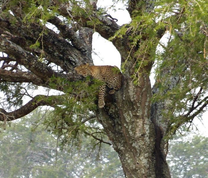 Leopard Baum hängend