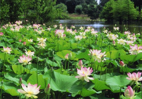 Lotusblüte Arobertum darf genutzt werden