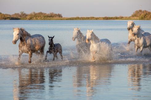 Mystical wild horses of the Camargue France running though water with foal