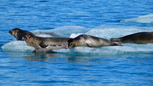 Seehunde Gletscherlagung