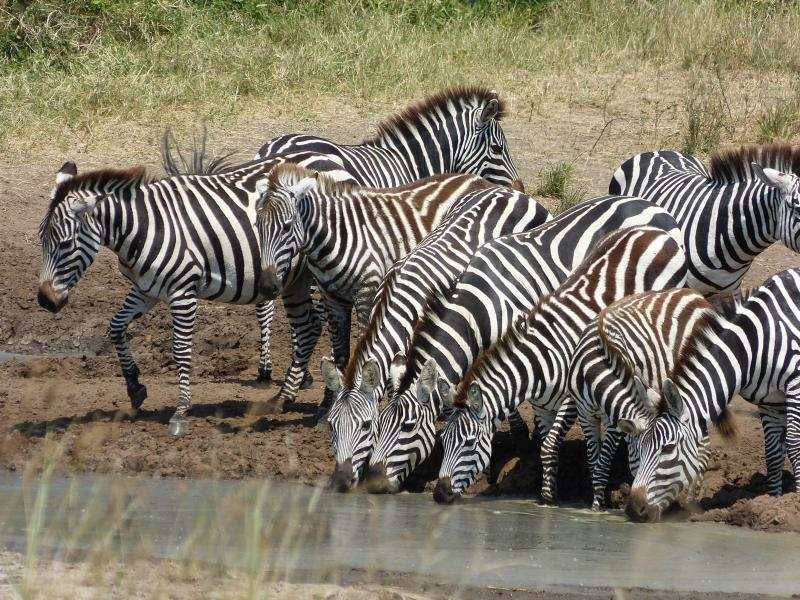 Zebras trinken