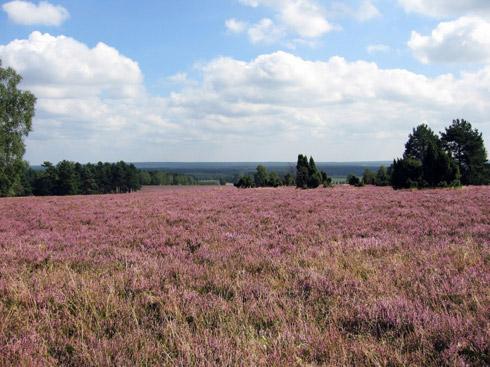 Celle - blühende Heide